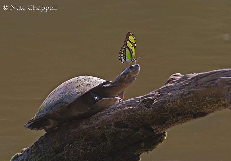 Amazon River Turtle with Butterfly