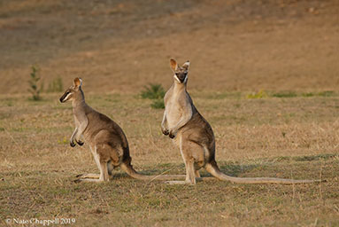 Whipttail Wallabies
