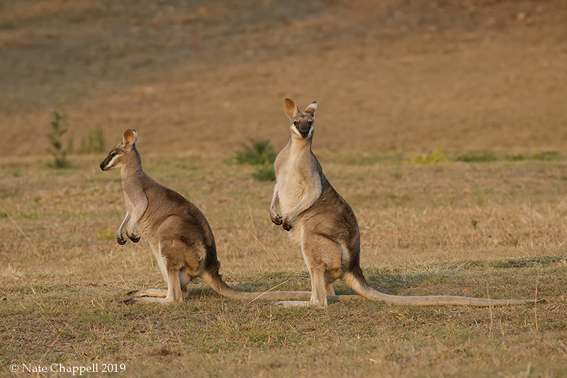 Whiptail Wallabies
