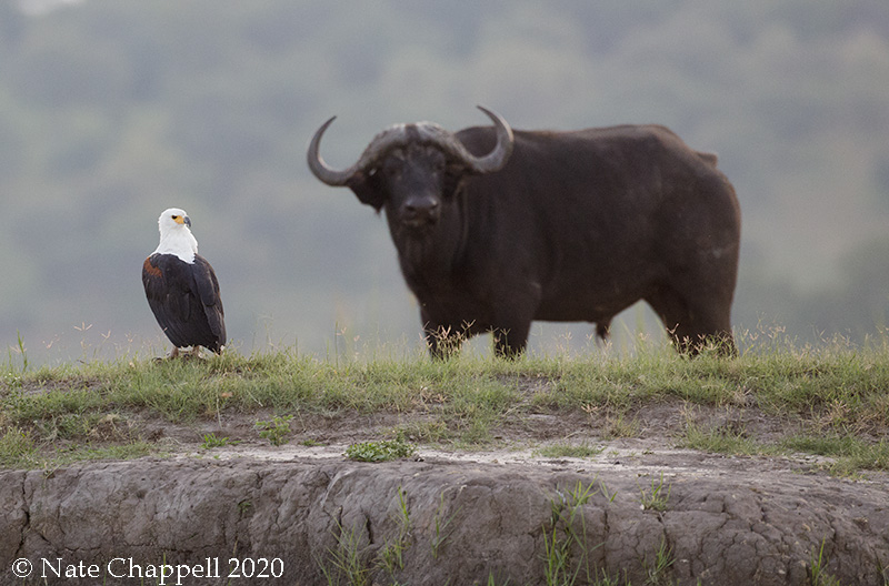 African Fish Eagle and Cape Buffalo