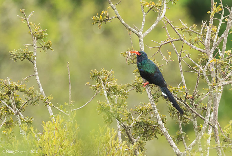Green Woodhoopoe