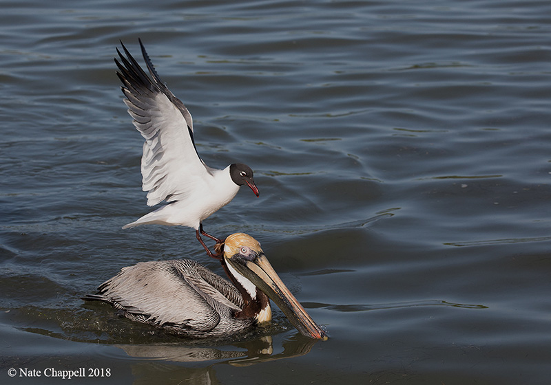 Laughing Gull on Brown Pelican