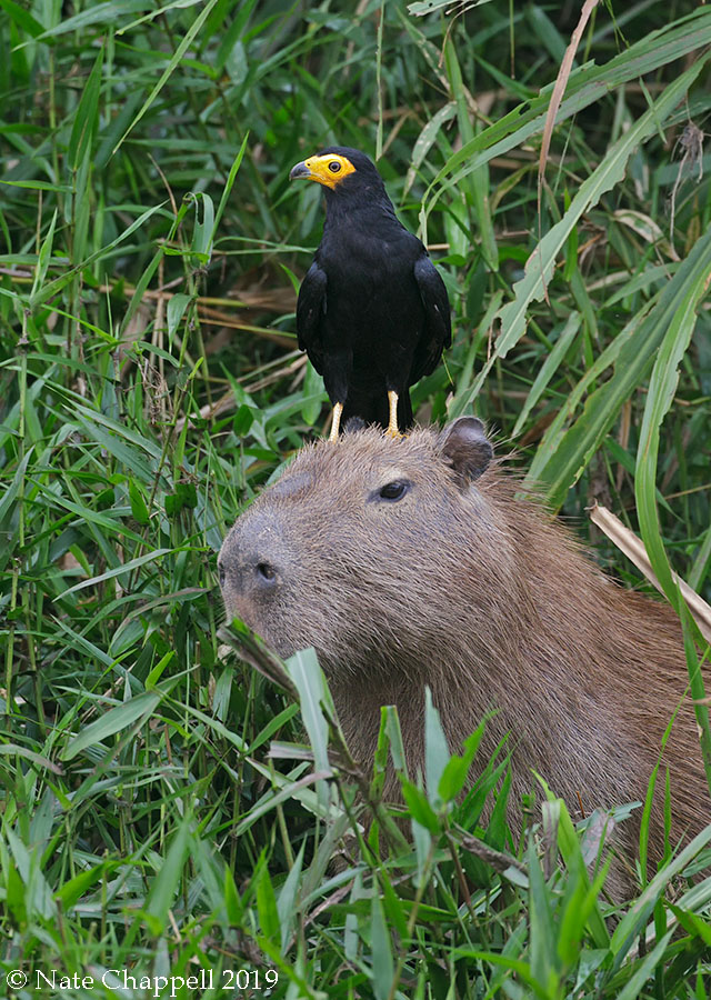 Black Caracara on Capybara