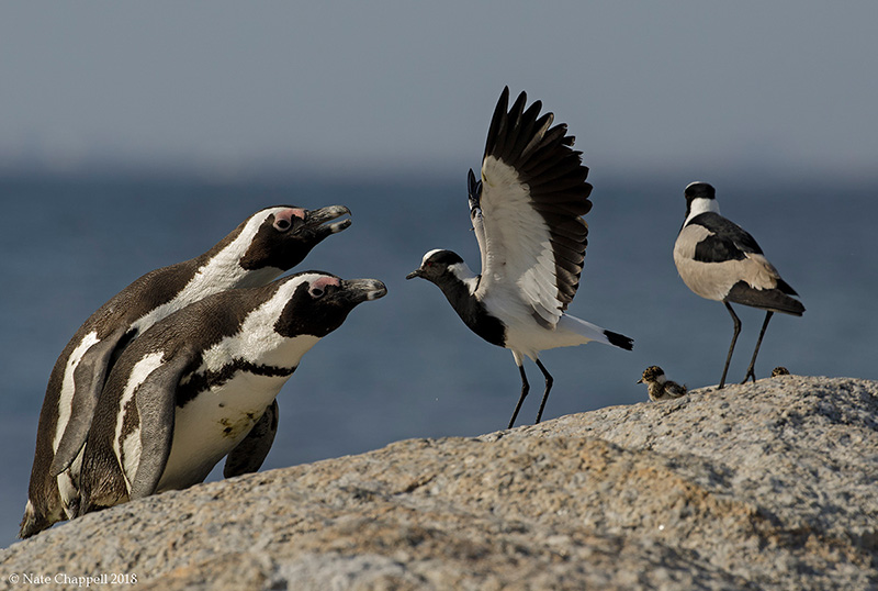 African Penguins and Blacksmith Lapwings