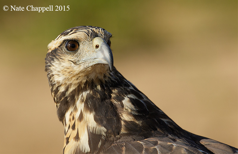 Great Black Hawk, juvenile