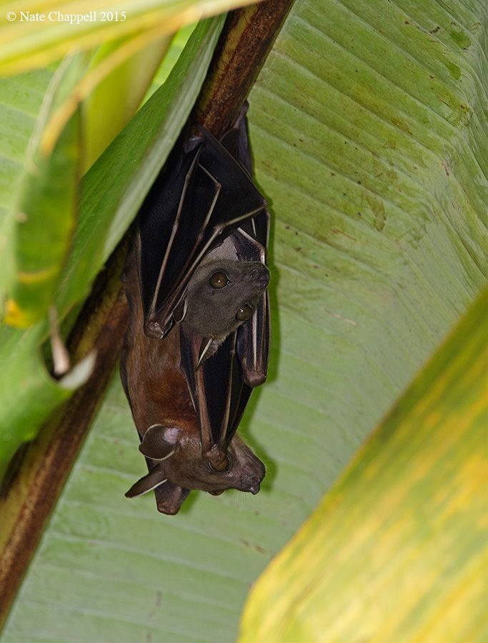 Lesser Short-faced Fruit Bat