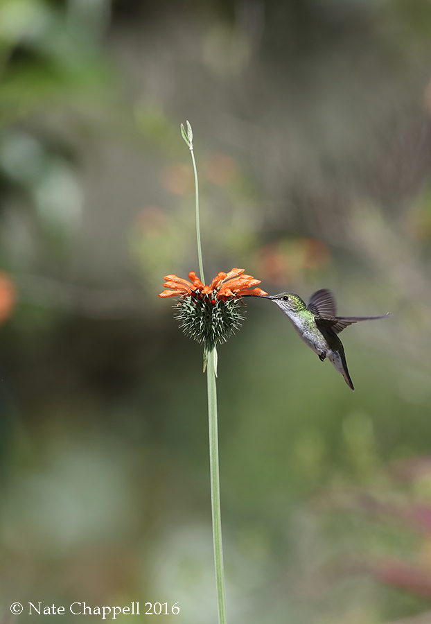 White-belllied Hummingbird