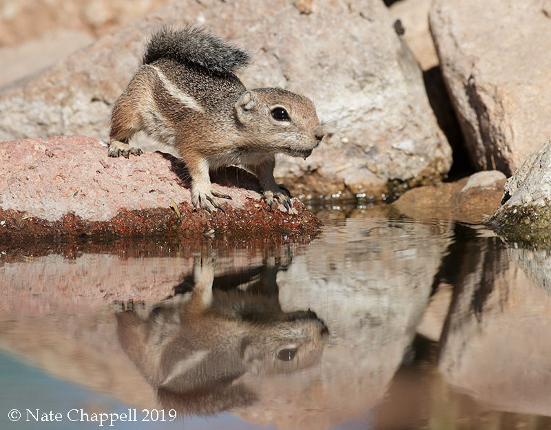 Harris's Angelope Squirrel
