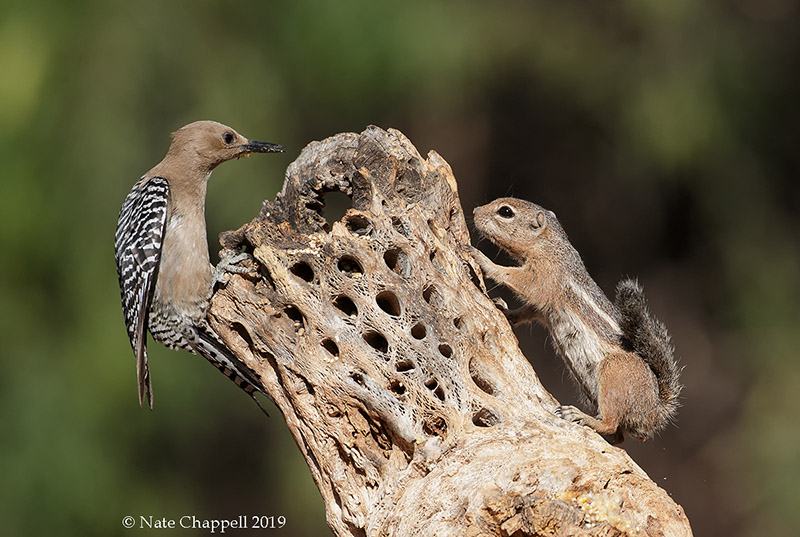 Gila Woodpecker and Harrs's Antelope Squirrel