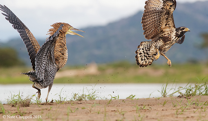 Bare-throated Tiger Heron and Common Black Hawk