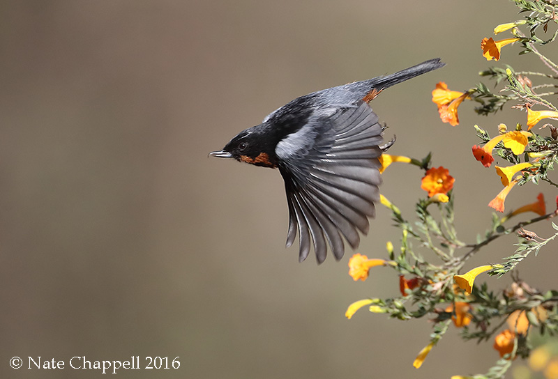 Black-throated Flowerpiercer