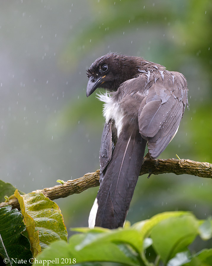 Brown Jay