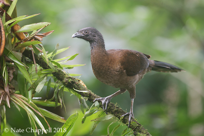 Gray-necked Chachalaca