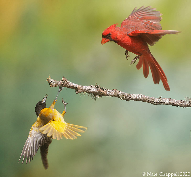 Cardinal and Baltimore Oriole