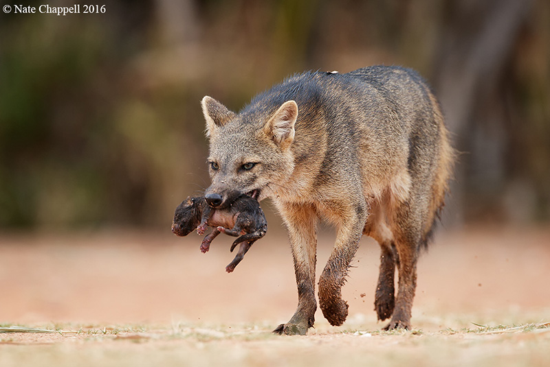 Crab-eating Fox with young