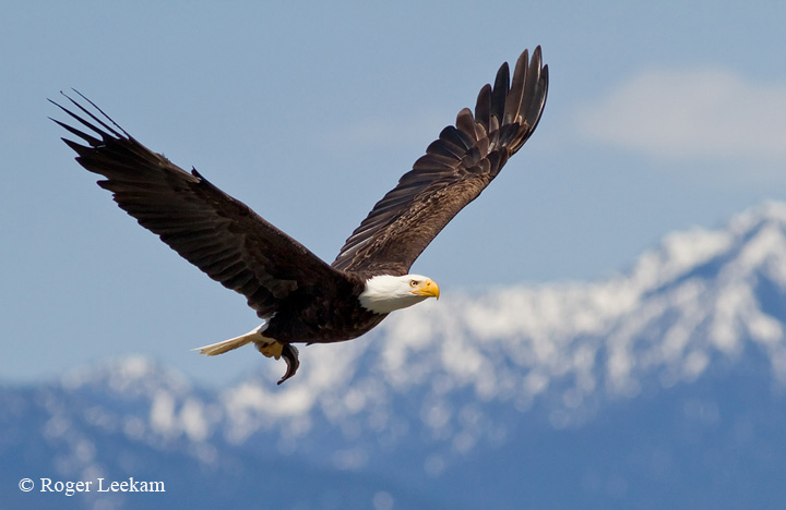 Bald Eagle with Olympic Mountains
