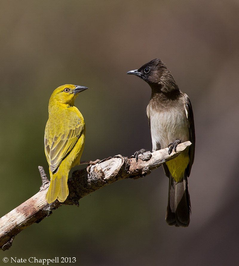 Asian Golden Weaver and Dark-capped Bulbul