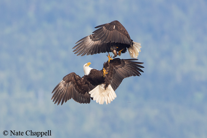 Bald Eagles battling