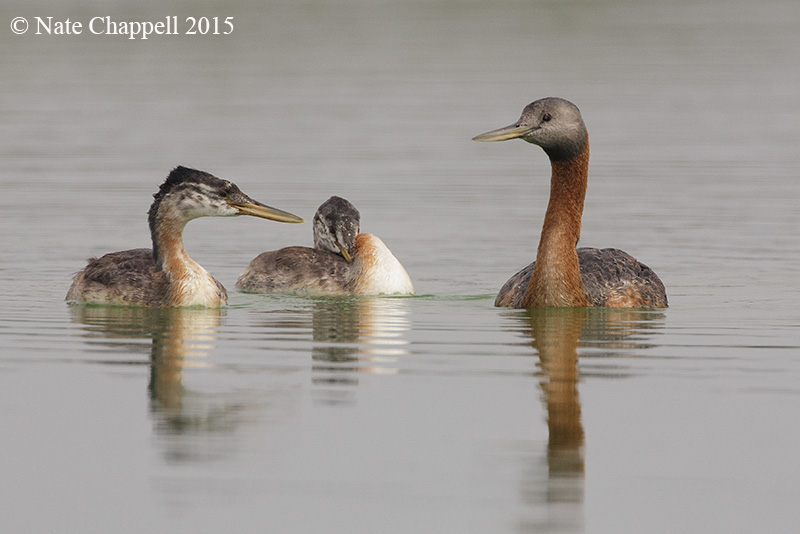 Great Grebes