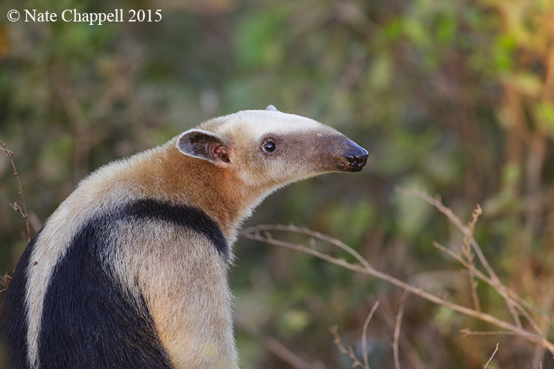 Southern Anteater