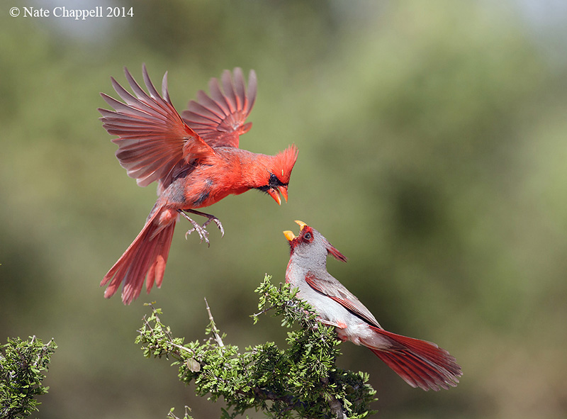 Cardinal and Pyrrhuloxia