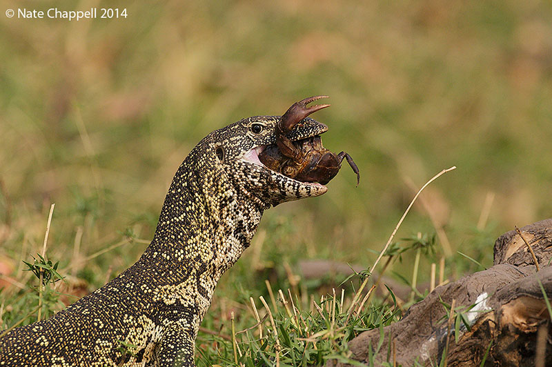 Monitor Lizard Eating Crab