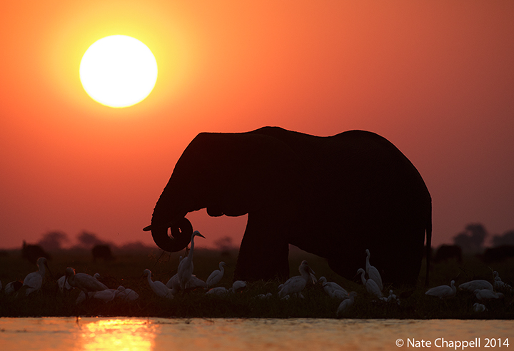 African Elephant and Egrets