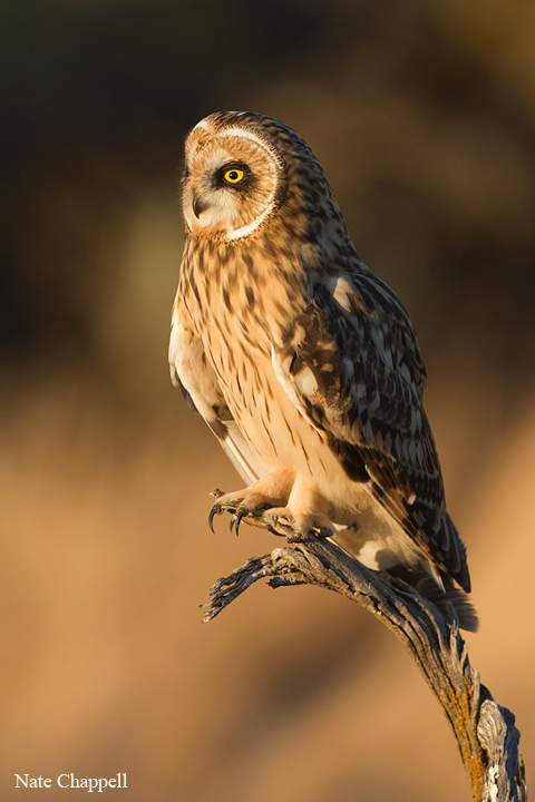 Short-eared Owl - Kuna, Idaho