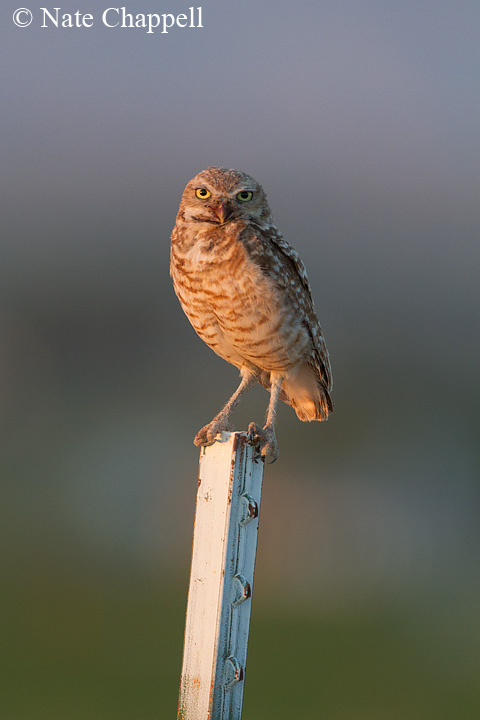 Burrowing Owl - Kuna, Idaho