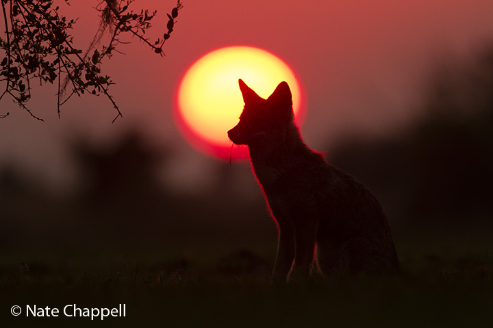 Pampas Fox at Sunset