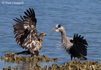 Bald Eagle and Great Blue Heron - Hood Canal, WA