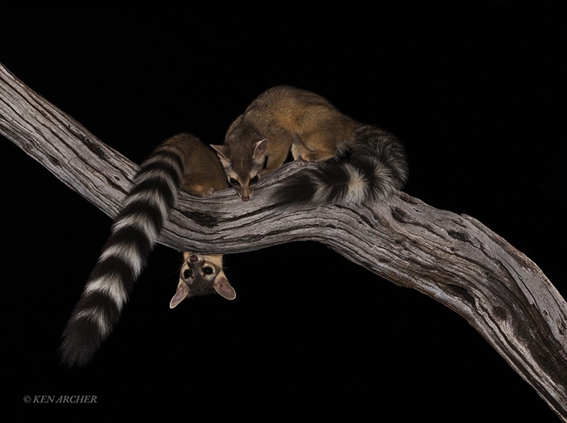 Ring-tailed Cats