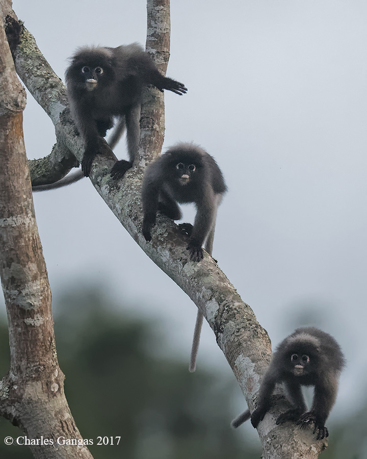 Dusky Leaf Monkies