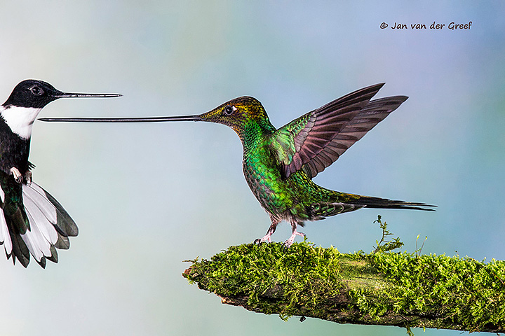 Sword-billed Hummingbird and Collared Inca