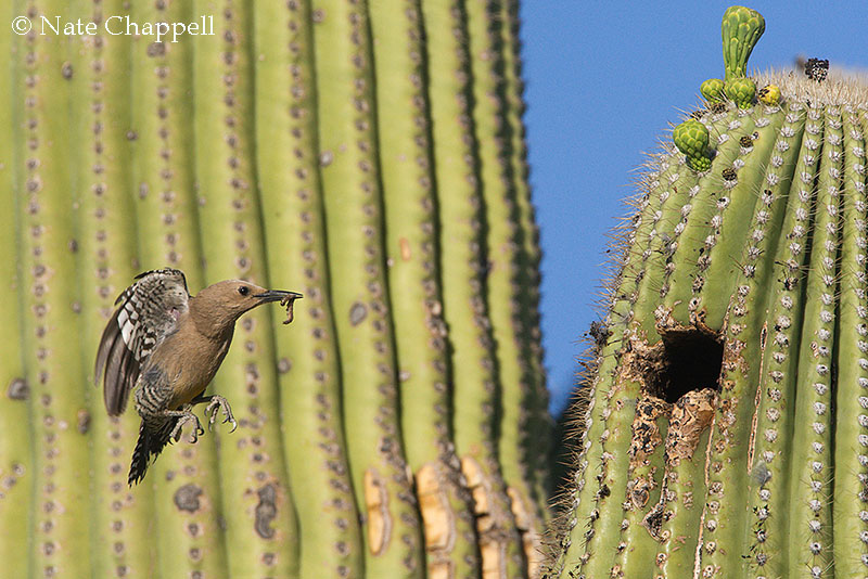 Gila Woodpecker Coming to Nest
