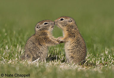 Belding's Ground Squirrels