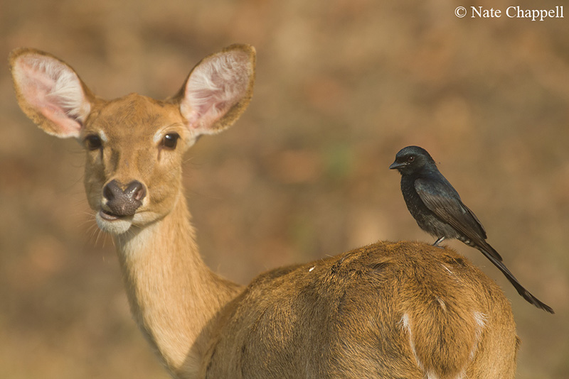 Sambar and Black Drongo
