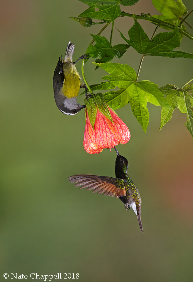 Black-bellied Hummingbird and Banaquit