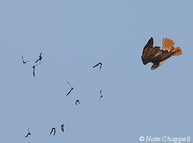 Red-tailed Hawk and Bats