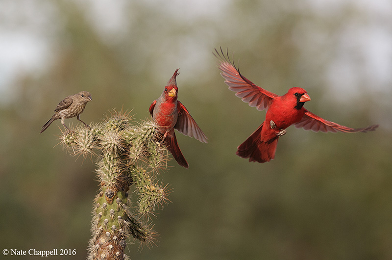 House Finch, Pyrrhuloxia and Cardinal