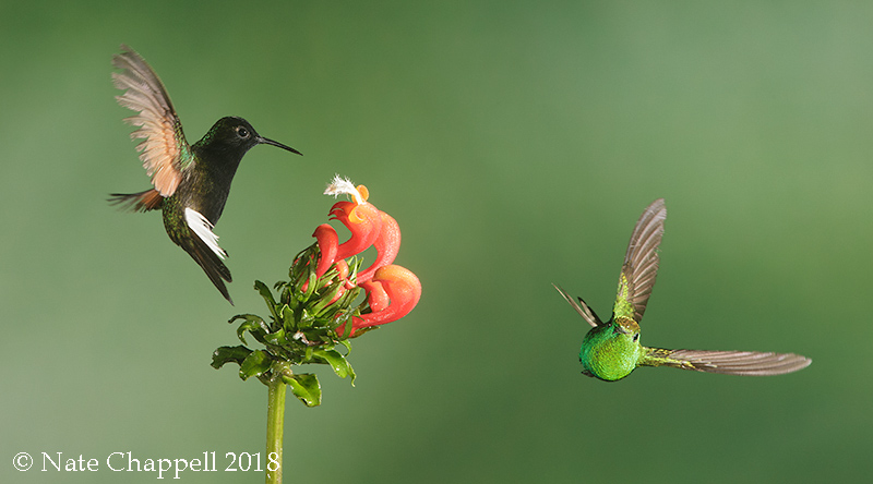Black-bellied and Coppery-headed Hummingbirds