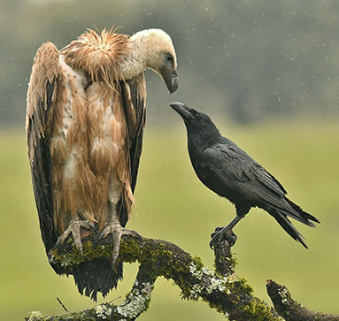 Griffon Vulture and Crow